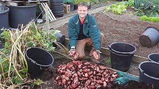 Enormous harvest of Container Grown Potatoes