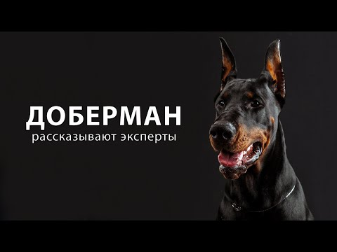 ДОБЕРМАН. Рассказывают эксперты