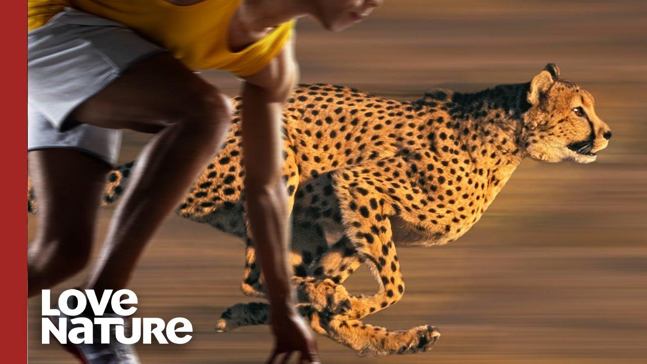 Usain Bolt vs. Cheetah: Olympians of the Animal Kingdom