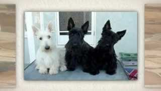 Scottish Terrier Training