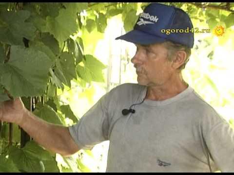 Оформление беседки виноградом. Хороша Изабелла