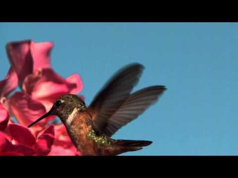 FLIGHT: The Genius of Birds - Hummingbird tongue