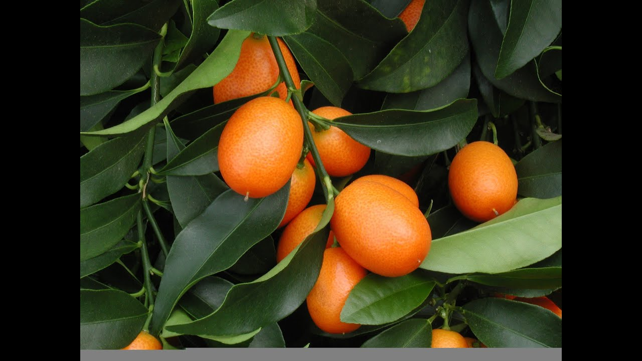 how to grow your own kumquats youtube