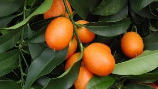 How To Grow Your Own Kumquats