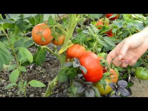 Оценка томатов 2016 года: Диаболик, Хайпил, Взрыв. | выращивание | тепличные | помидоры | томатов | теплице | томаты | лучшие | сорта | сор | в