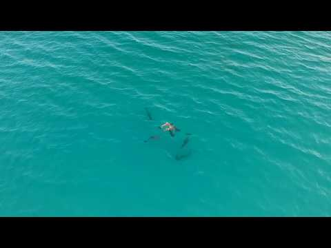 Dolphins, White Shark and Spotted Ray Destin Florida