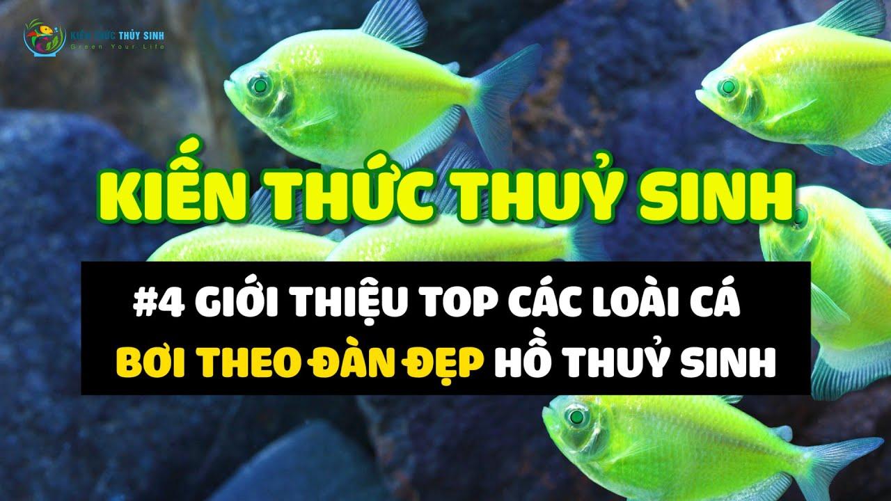 KTTS #7 Giới thiệu cá thuỷ sinh bơi theo đàn đẹp