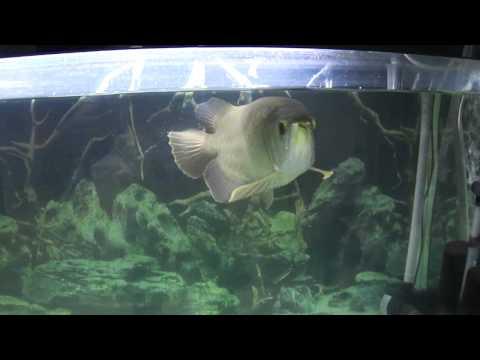 Cá Rồng Thanh Long - Green Arowana - 16 months - 52cm