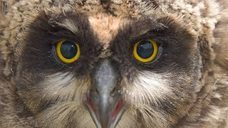 Owl Notes–Short-eared Owl Banding