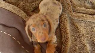 Coco The Miniature Chocolate Dapple Dachshund As A Puppy