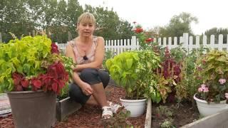 Cultivare urzicuta, o planta perena decorativa
