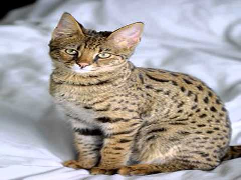 f1 chausie kittens for sale - YouTube