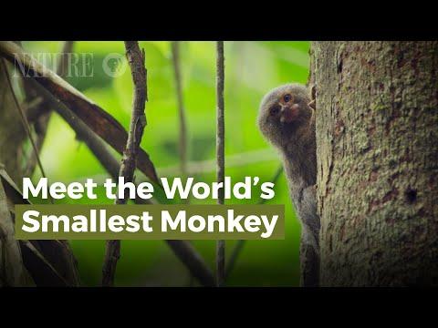 Gặp Gỡ Loài Khỉ Nhỏ Nhất Thế Giới