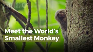 Meet the World's Smallest Monkey