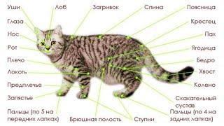 Заболевания кошек (рассказывает ветеринар Александр Шабейкин)