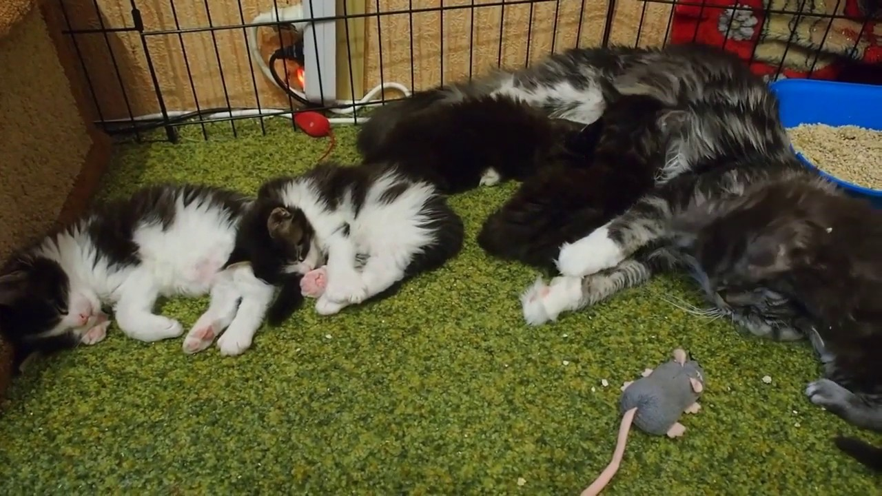 Funny maine coon kittens kitten vides