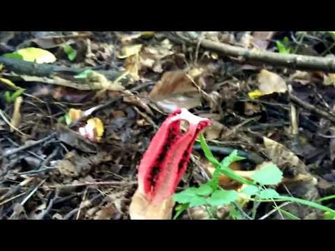 Пальцы дьявола,гриб из красной книги,Антурус Арчера
