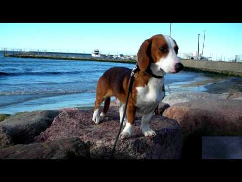 Drever - (Swedish Dachsbracke)  - Dog Breed