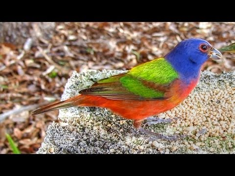 Painted Buntings - Up Close and Hungry!