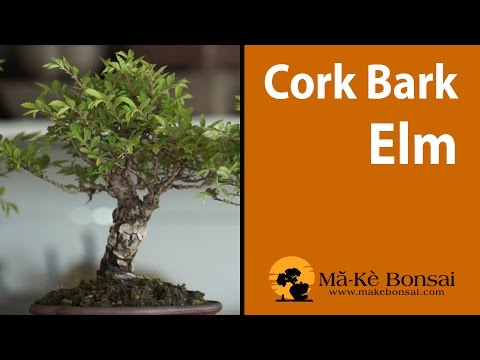 118) Cork Bark Elm Bonsai are excellent Bonsai Trees for Beginners