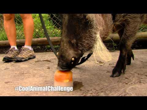 #CoolAnimalChallenge Walter the Warthog - Cincinnati Zoo