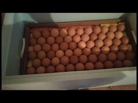 Инкубация куриных яиц в Блиц Норма 72 | От закладки до вылупа