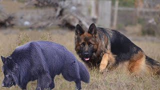 How to Check Pure German Shepherd Dog Breed | Dogmal