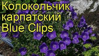 Колокольчик карпатский Blue Clips. Краткий обзор, описание характеристик