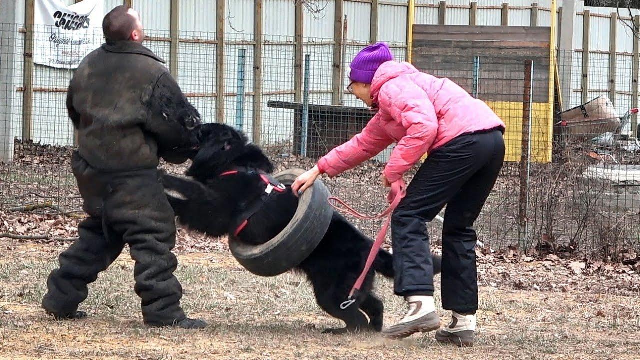 """Обучение Собак ЗАЩИТЕ ХОЗЯЕВ в любых ситуациях. Школа СЛУЖЕБНОГО СОБАКОВОДСТВА """"СТРАЖ"""" Одесса."""