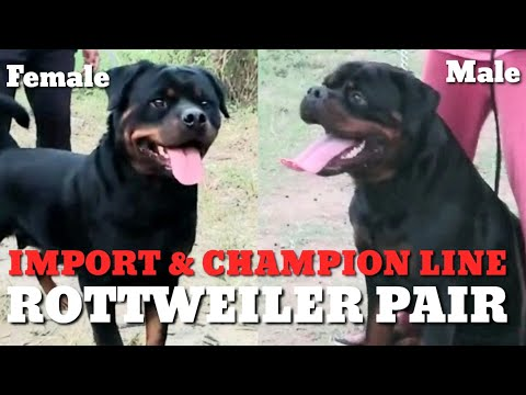 rottweiler-adult-pair-champion-&-import-pedigree-kci-registered-(kennel-club-of-india)-top-quality