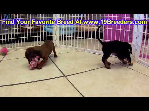Miniature Dachshund, Puppies, For, Sale, In, Gillette, Wyoming, WY, Rock Spriings, Sheridan
