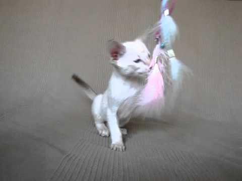 Объявления о продаже взрослых кошек и котят: шотландские, вислоухие, британские, бенгальские, персидские коты, мейн-куны по доступным ценам. Купите породистого котенка недорого на юле.