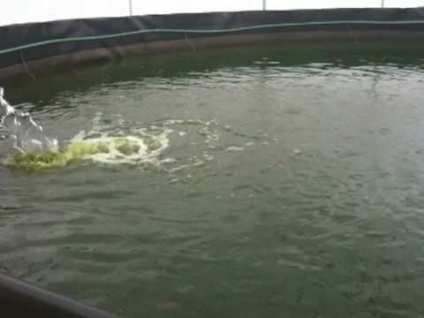Engorda de tilapia bajo invernadero youtube for Criar tilapias en estanques