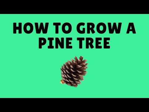 How to Grow Pine Trees and Spruce Trees From Seed