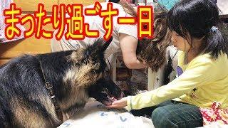 大型犬#ジャーマンシェパード 犬マック君、半額ヨーグルト食べてると孫...