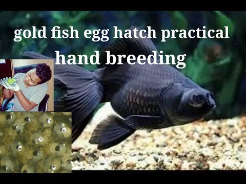 Gold Fish Hand Breeding Practical Video  My Gold Fish Laying Egg.