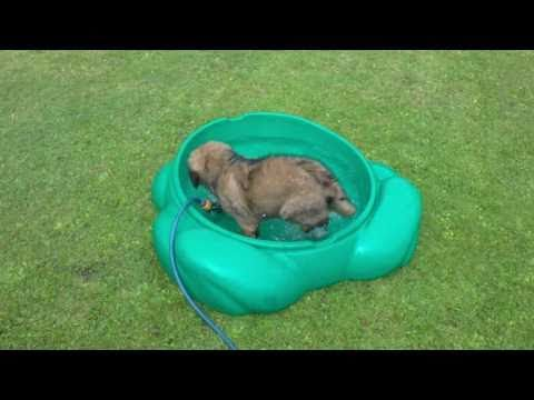 Phoebe the Leonberger puppy first water paddle