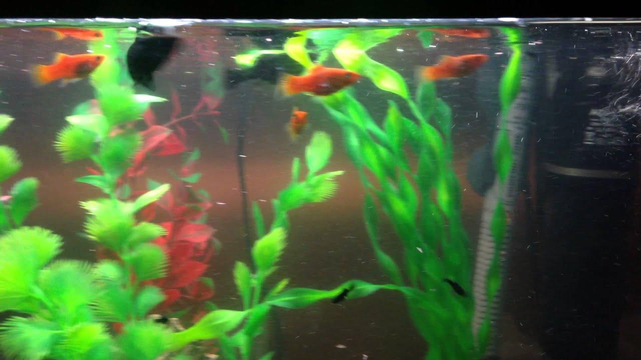 Black Molly Fish Dropping Babies