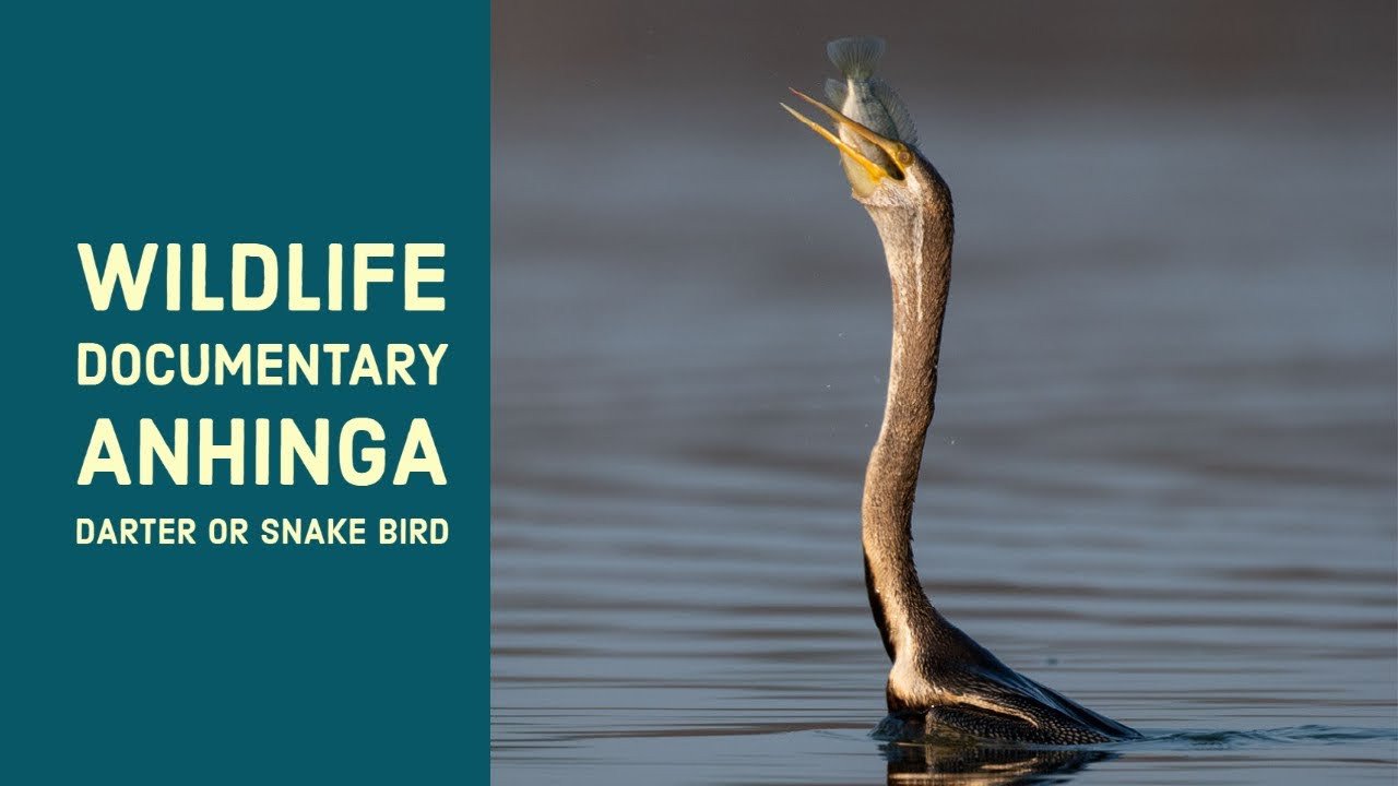 """Download Anhinga the """"Snakebird"""" Famous spear technique for a fresh meal """"water turkey"""""""