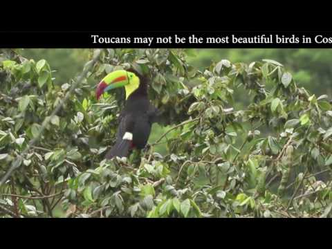 Stunning video of Keel-Billed Toucans Singing in Costa Rica