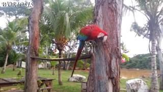 Красный ара / Scarlet macaw / Ara macao