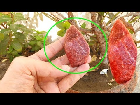 put-piece-of-meat-in-your-garden-and-see-what-will-grow-this-will-happen