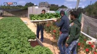 """""""الزراعة المائية""""تجربة جديدة في غزة"""