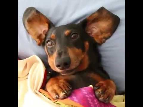 Oakley the Dachshund Goes Back to School, Misses Bus!
