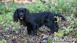 Hunting A Cocker Spaniel In The Beating Line Of A Game Shoot
