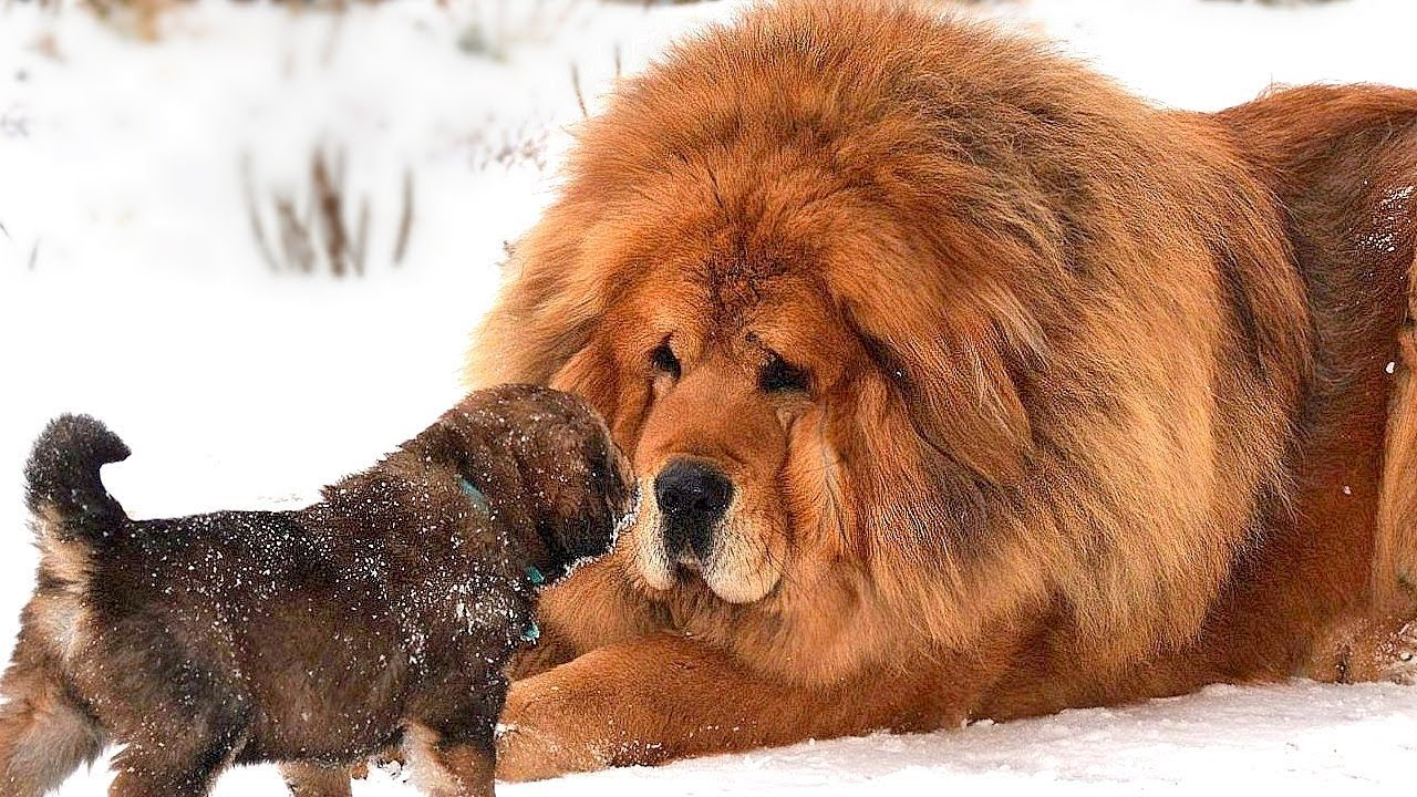 World S Most Expensive Dog Breeds That Only The Rich Can