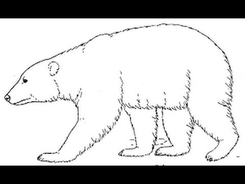 How to Draw Polar Bear full body drawing step by step