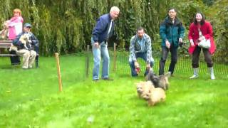 Cairn Terrier Fun Day Mouse Race 1