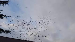Gołębie Jacka 5 ( pigeons )