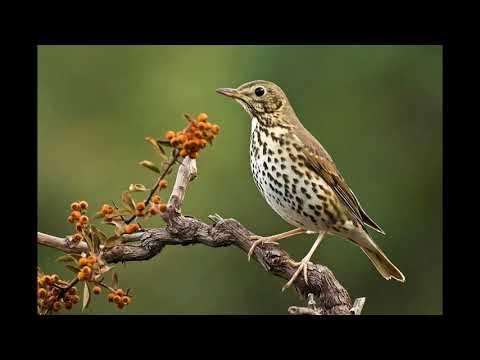 Uccelli - Tordo Bottaccio - Canto degli Uccelli